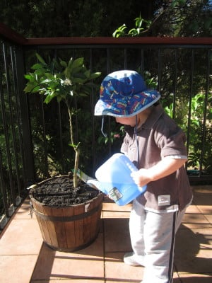 Watering the orange tree