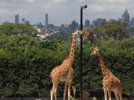 giraffesenjoyingtheirview