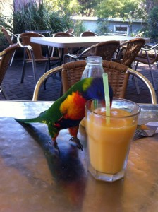 Rainbow Lorikeet enjoying some OJ