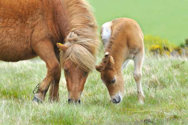 NSM-Toffee-with-Foal_morven