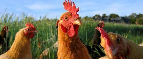 chicken-480-x-200