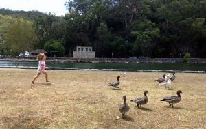 bobbin-head-ducks