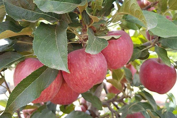 Bilpin Fruit Bowl Fruit picking Sydney