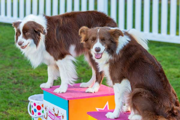 Two dogs on voloured boxes at Pet Festival