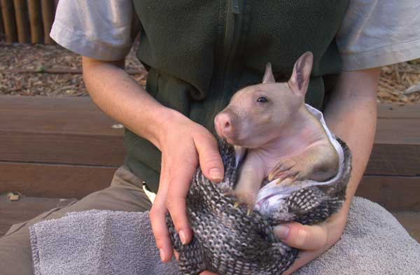 A Taronga Zoo keeper with a baby wombat