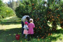 Day Trip: Mandarin Picking by the Hawkesbury River