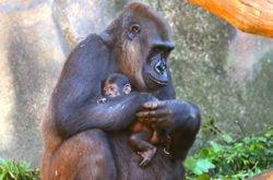 female WWestern Lowland Gorilla baby
