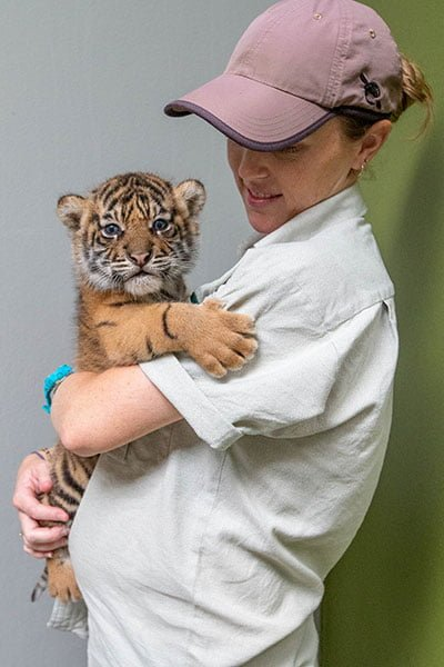 Taronga Zoo's new tiger cubs