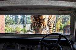 Trip to the Zoo: Tiger Trek at Taronga