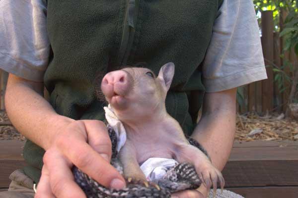Hand feeding baby wombats