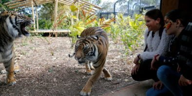 Taronga-Zoo-Tiger-Trek