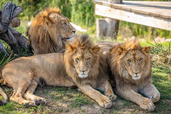 Sydney Zoo Lions