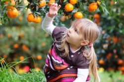 Mandarin Picking