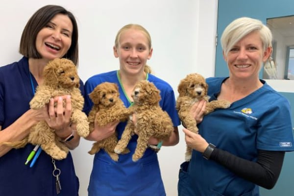 Cavoodle and vet