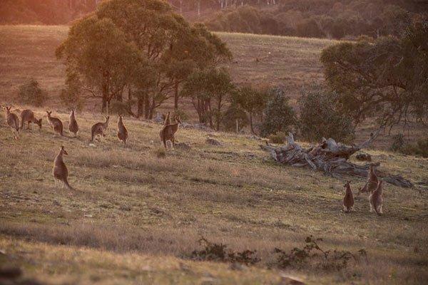 The-Barn-GundarooFarm-kangaroos