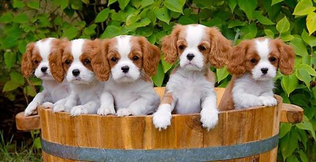 Adorable King Charles Spaniel puppies