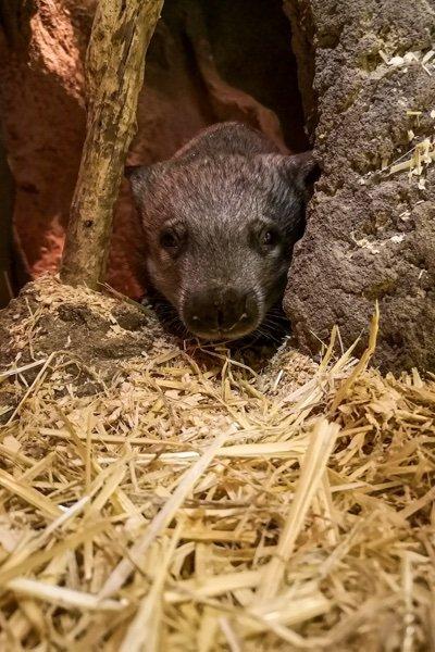 Taronga Zoo Wombat