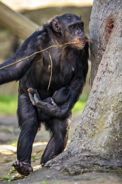 new chimp