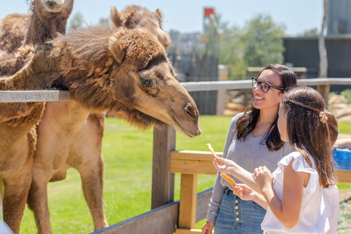 Sydney Zoo Camel