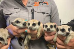 Cute baby meerkat quintuplets join the mob at the new Sydney Zoo