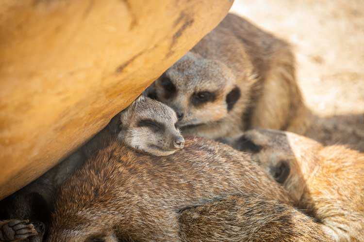 baby meerkats cuddling mum