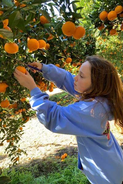 Mandarins picking