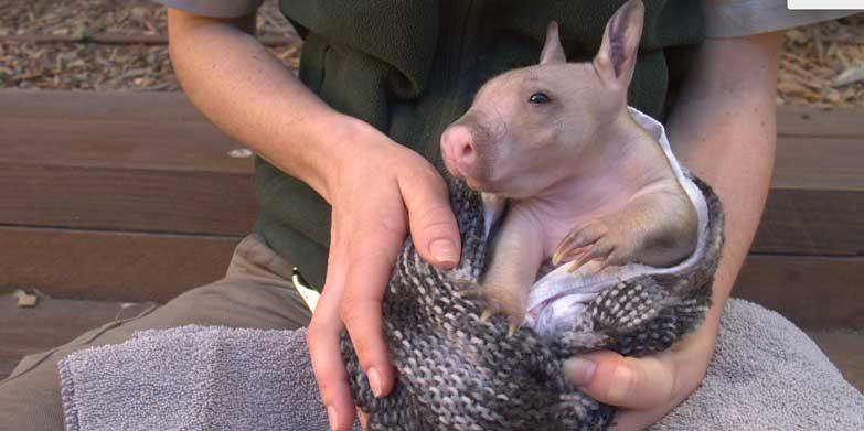 Baby wombat